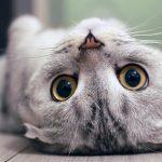 寵物知識貓貓的肌膚和耳朵裡面健康保健